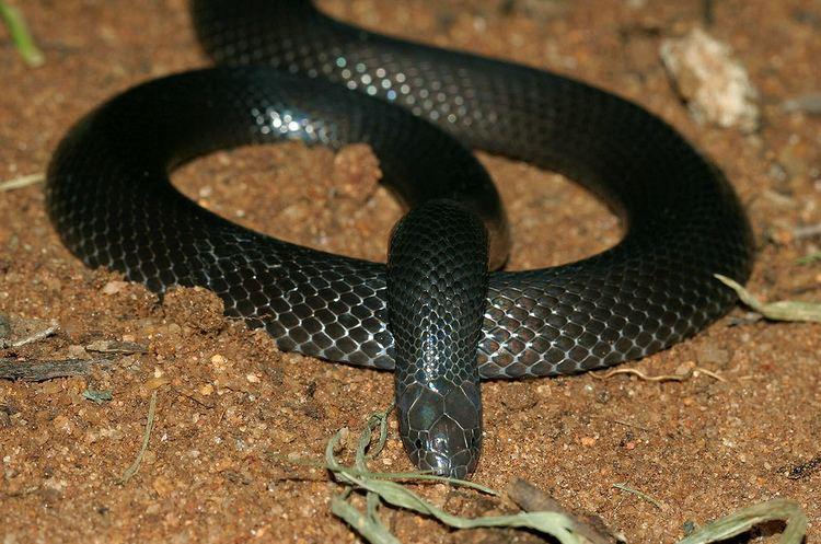 Atractaspis bibronii Southern Stiletto Snake Atractaspis bibronii Also known Flickr