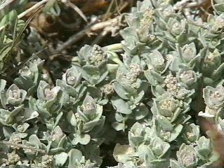 Atriplex leucophylla Atriplex leucophylla Beach Saltbush