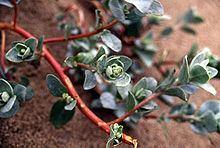 Atriplex leucophylla httpsuploadwikimediaorgwikipediacommonsthu