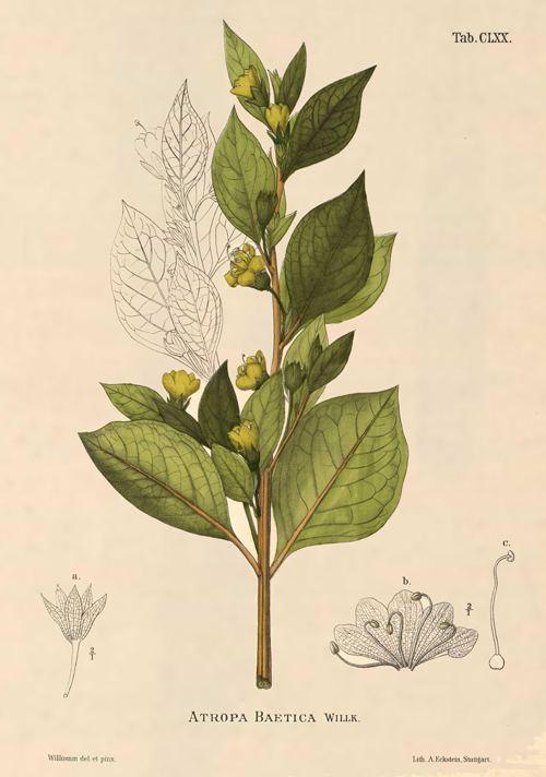 Atropa baetica Atropa baetica tabaco borde discovered in the Murcia Region
