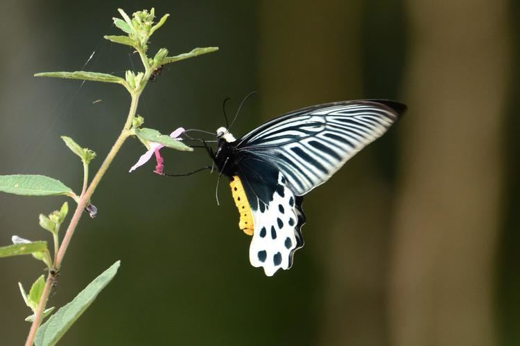 Atrophaneura sycorax Atrophaneura sycorax egertoni Whitehead Batwing