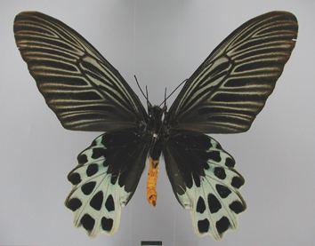 Atrophaneura sycorax Valid species atbieu