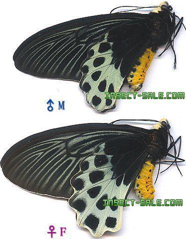 Atrophaneura sycorax InsectSalecom Atrophaneura sycorax egertoni Atrophaneura