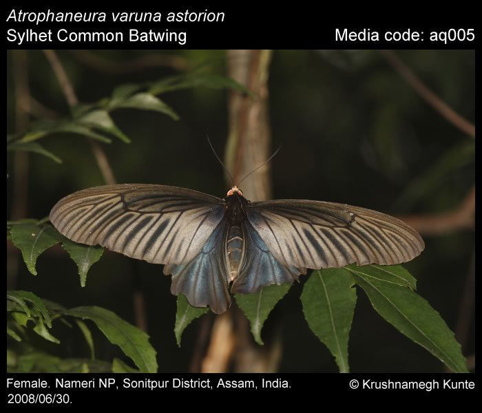 Atrophaneura varuna Atrophaneura varuna Common Batwing Butterflies of India