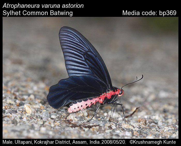 Atrophaneura varuna wwwifoundbutterfliesorgmediaimages201595419