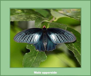 Atrophaneura varuna Butterflies gtgt Papilionidae gtgt Atrophaneura varuna varuna