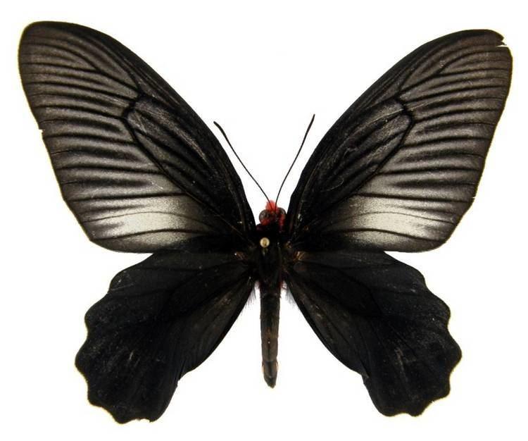 Atrophaneura varuna ButterflyCornernet Atrophaneura varuna Common Batwing