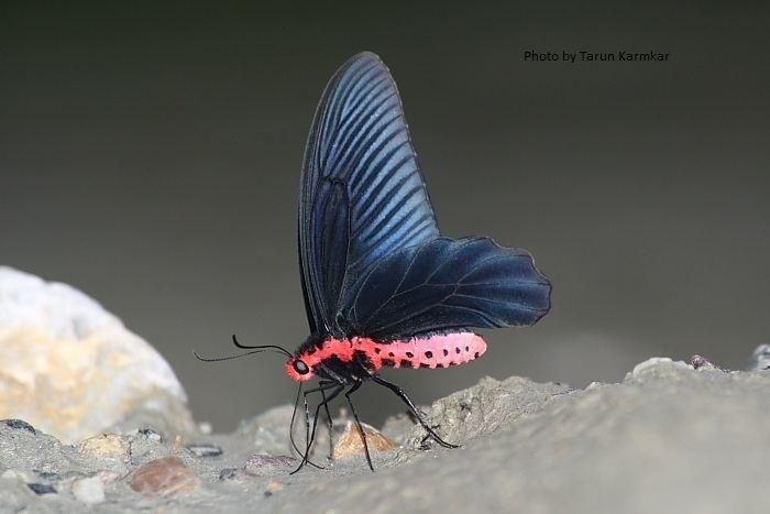 Atrophaneura varuna Butterflies ltbrgt Papilionidae Swallowtails ltbrgt Subfamily