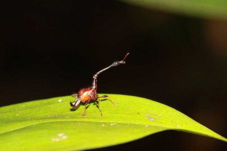 Attelabidae borneobeetlesmyspeciesinfositesborneobeetlesm
