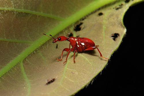 Attelabidae SINOBUG A Leafrolling Weevil Attelabidae proudly