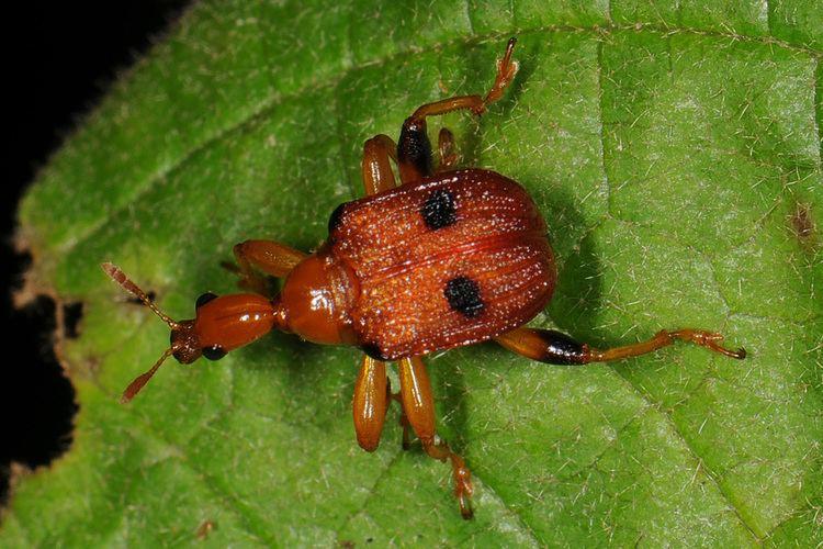 Attelabidae Classification Beetles of Borneo