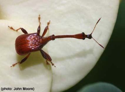 Attelabidae Papua Insects Foundation ColeopteraAttelabidae thumbnail gallery