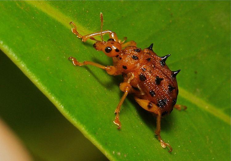 Attelabidae Spiny LeafRolling Weevil Paroplapoderus sp Attelabidae Flickr