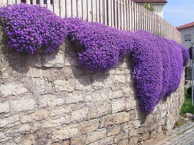 Aubrieta 250 Aubrieta Seeds Cascade Purple FLOWER SEEDS PERENNIAL DEER