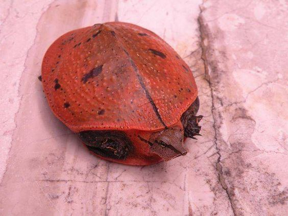 Aubry's flapshell turtle Aubry39s flapshell turtle Cycloderma aubryi3 is a species of
