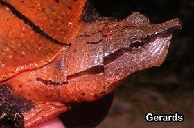 Aubry's flapshell turtle Aubry39s Flapshell Turtle The Reptile Report