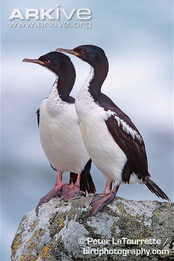 Auckland shag Auckland Islands shag videos photos and facts Phalacrocorax