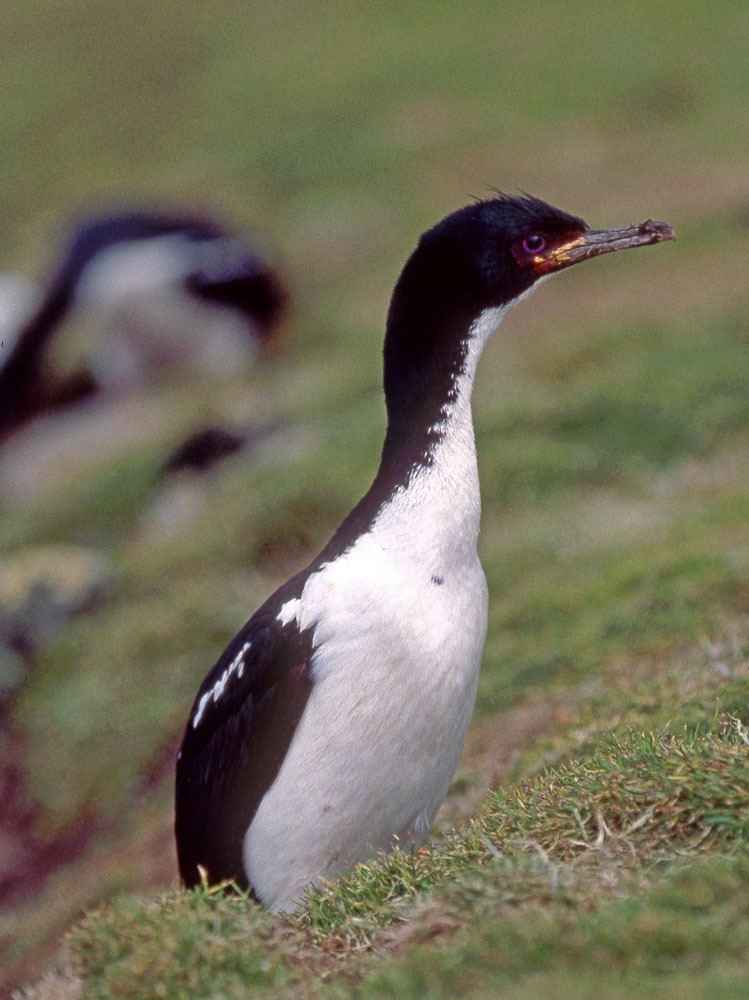 Auckland shag Photos of Phalacrocoridae shags and cormorants