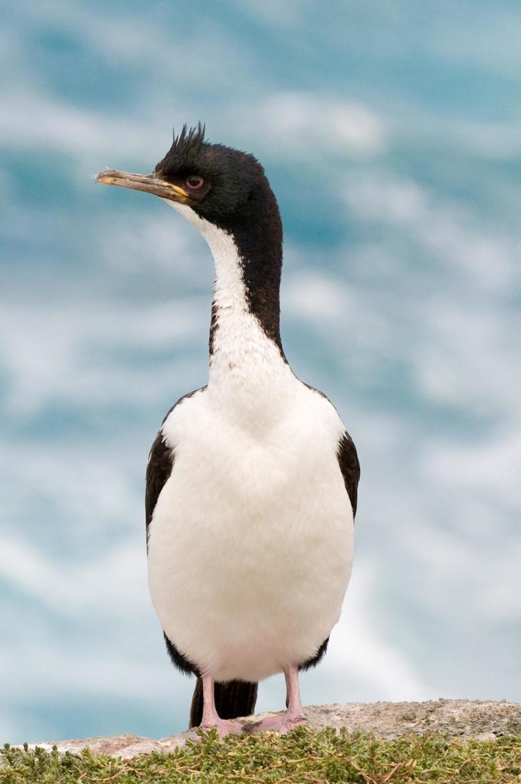 Auckland shag Auckland Island shag New Zealand Birds Online