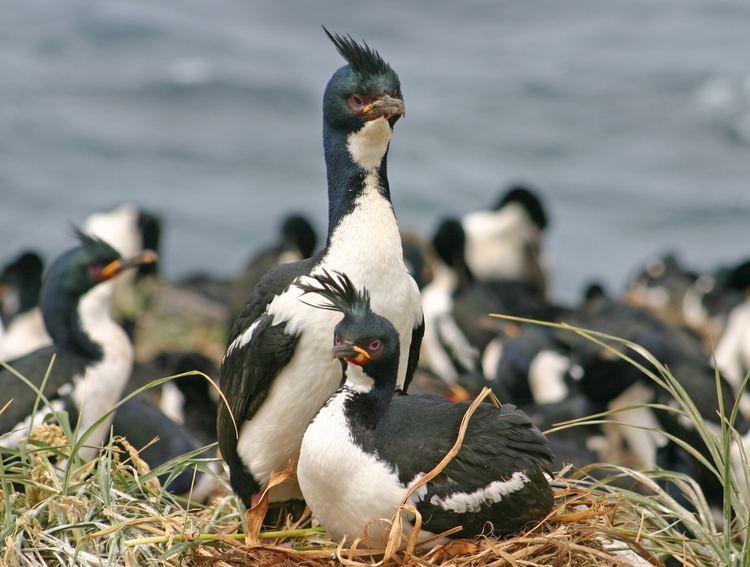 Auckland shag Enderby Island Birds