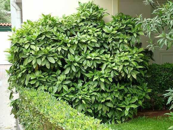 Aucuba Aucuba japonica Health effects and herbal facts