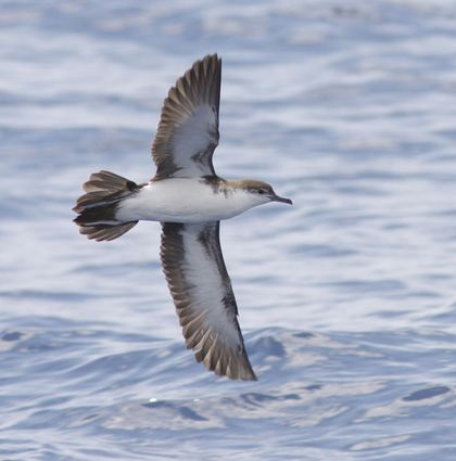 Audubon's shearwater Agreement on the Conservation of Albatrosses and Petrels Lost