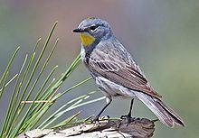 Audubon's warbler Audubon39s warbler Wikipedia