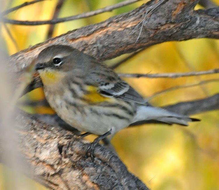 Audubon's warbler Bird Hybrids Yellowrumped Warbler intergrades