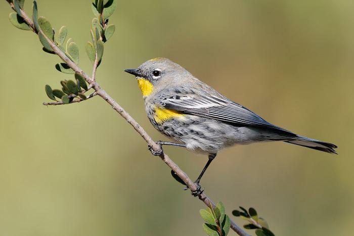 Audubon's warbler wwwtringaorgimages8951YellowrumpedWarbler1