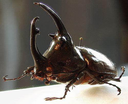 Augosoma centaurus Augosoma centaurus iNaturalistorg