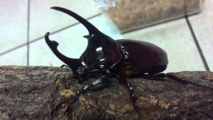 Augosoma centaurus httpsiytimgcomviCJp0tE2sCrQmaxresdefaultjpg