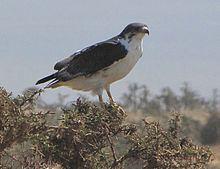 Augur buzzard httpsuploadwikimediaorgwikipediacommonsthu