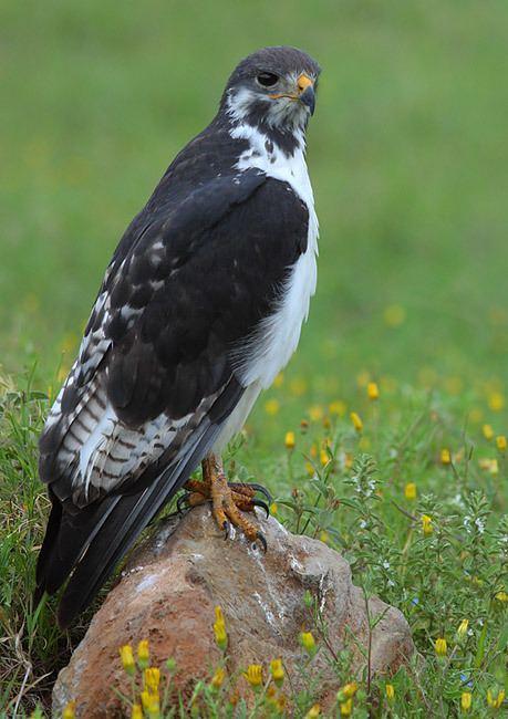 Augur buzzard Augur Buzzard Buteo augur Planet of Birds