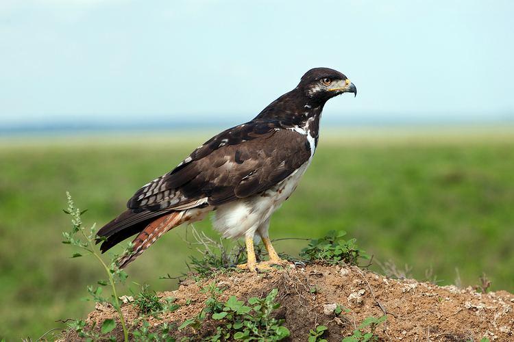 Augur buzzard Augur Buzzard Bird Light Wind