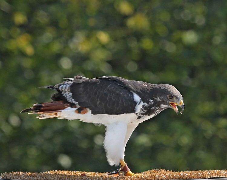 Augur buzzard Pictures and information on Augur Buzzard
