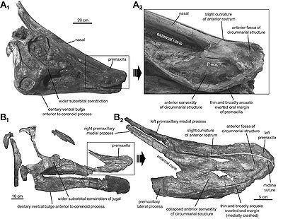 Augustynolophus Augustynolophus Encyklopedia Dinozaurycom