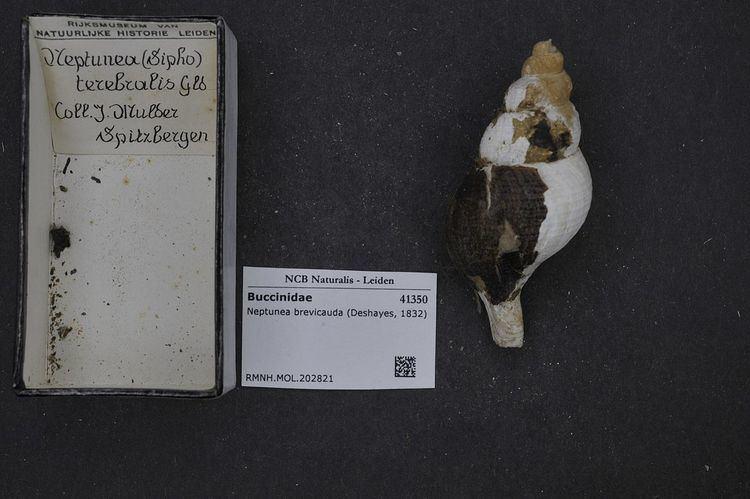 Aulacofusus brevicauda