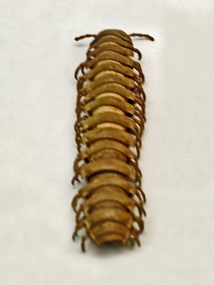 Aulodesmus mossambicus
