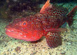 Aulopiformes httpsuploadwikimediaorgwikipediacommonsthu