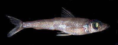 Aulopiformes Aulopiformes Wikiwand