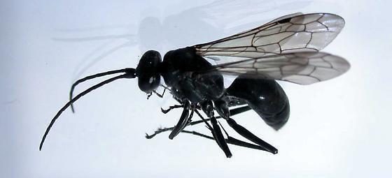 Auplopus carbonarius small black wasp Auplopus carbonarius BugGuideNet