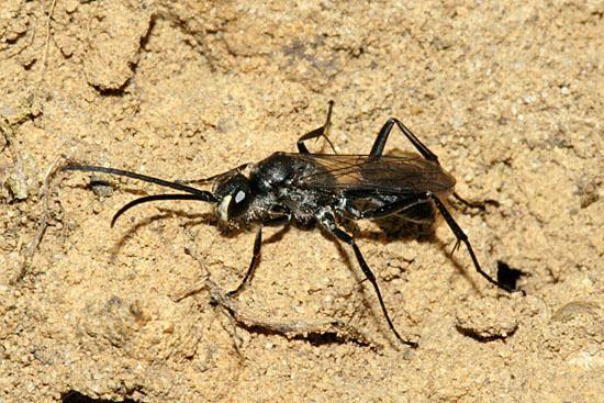 Auplopus carbonarius Heathland Pompilidae