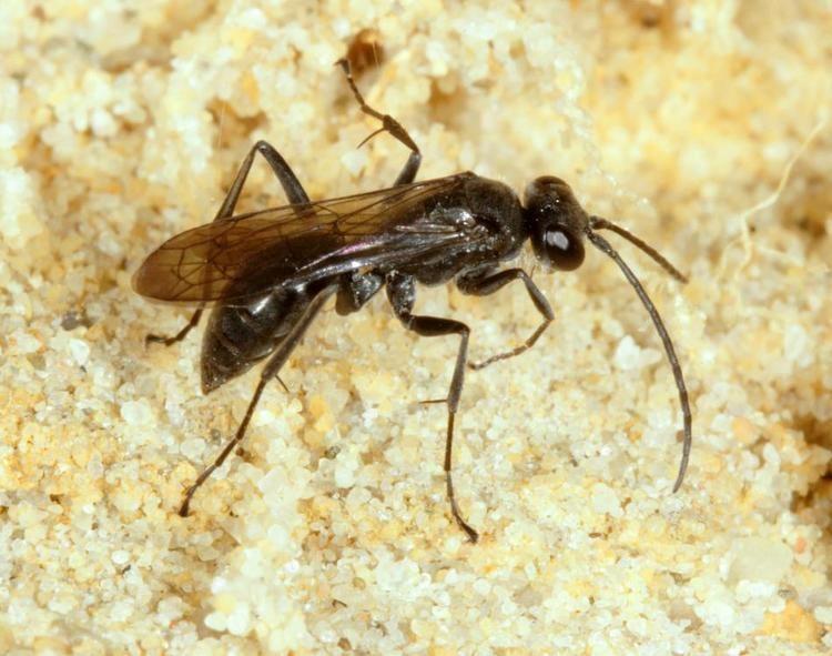 Auplopus carbonarius Auplopus carbonarius Scopoli1763 BWARS