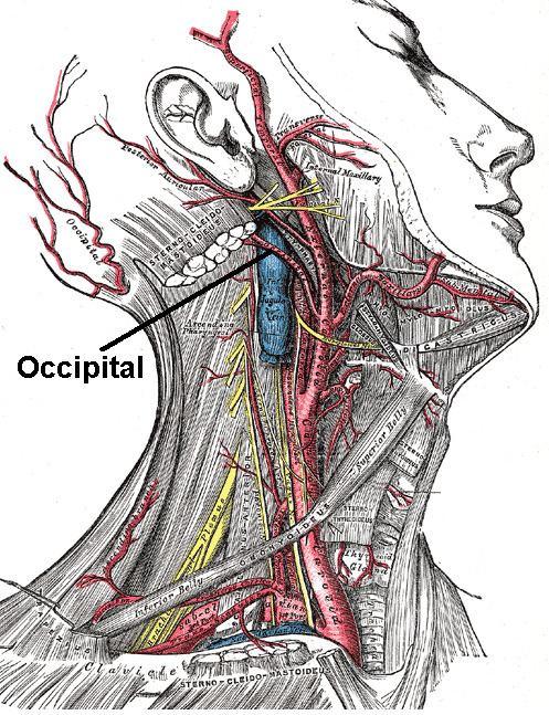 Auricular branch of occipital artery