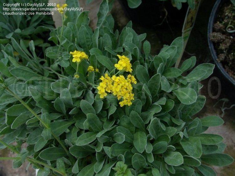 Aurinia saxatilis Gold Alyssum Basket of Gold Gold Dust Aurinia saxatilis 39Compactum39