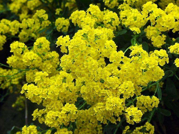 Aurinia saxatilis Aurinia saxatilis rock goldentuft Go Botany