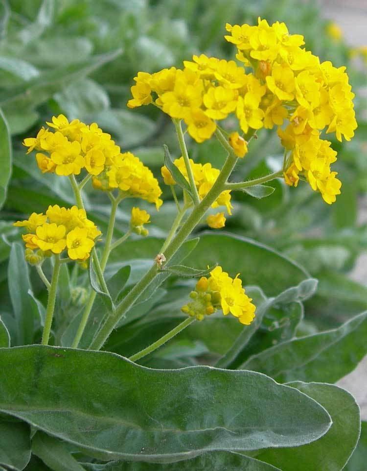 Aurinia saxatilis wwwscientificlibcomenBiologyPlantsMagnolioph