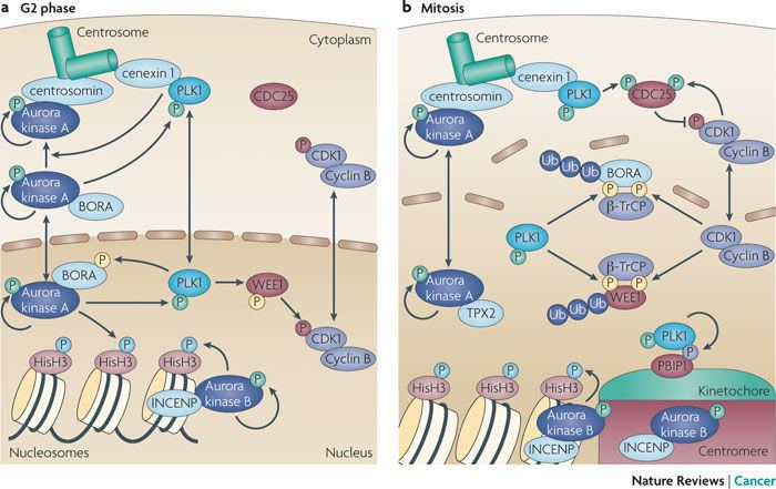 Aurora A kinase Figure 3 Shared and separate functions of pololike kinases and