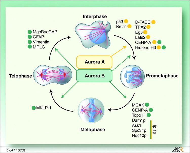 Aurora B kinase Aurora Kinases as Anticancer Drug Targets Clinical Cancer Research