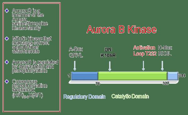 Aurora B kinase AURKB aurora kinase B